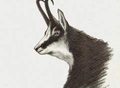 Art - Crayon Portrait Chamois ou Isard