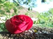 Nature Rose, c'est la vie