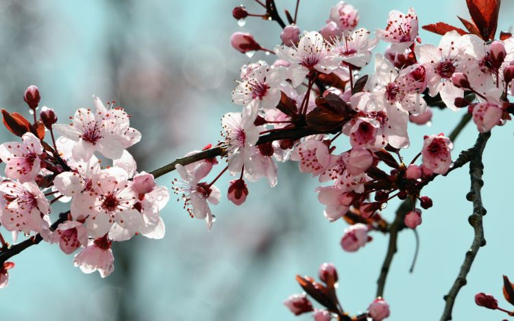Wallpapers Nature Flowers prunus et pluie