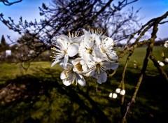 Nature Fleurs de prunier