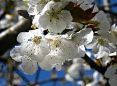 Nature Les cerisiers