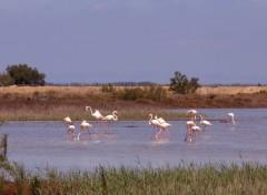 Animals Flamands en Camargue...