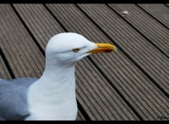 Animaux Mouette