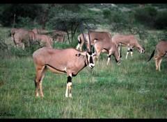 Animaux Un Oryx