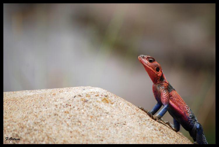 Fonds d'écran Animaux Lézards - Iguanes Lézard...