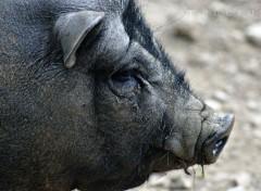 Animals Cochon