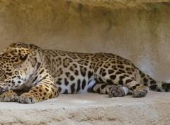 Animals Léopard en panoramique ...