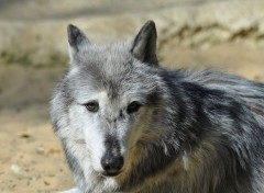 Animaux Wolf ...