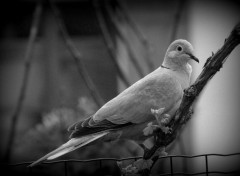 Animals Alfred le pigeon.