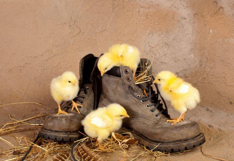 Fonds d'écran Animaux Oiseaux - Poules et Coqs Poussins sur des chaussures