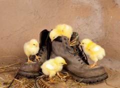 Animaux Poussins sur des chaussures