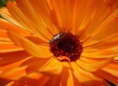 Nature Margueritte orange