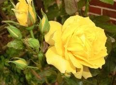 Nature belle rose