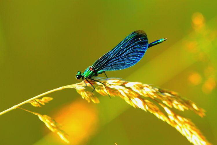 Fonds d'écran Animaux Insectes - Libellules Wallpaper N°307936