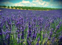 Nature Lavender