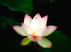 Nature lotus