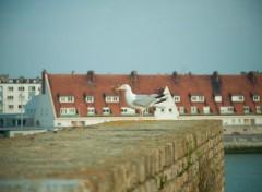 Animaux Mouette à Calais