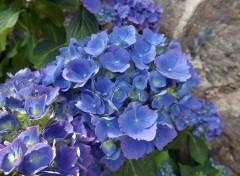 Nature hortensia bleu