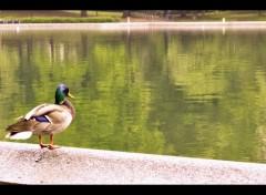 Animaux Serenity Duck