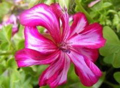 Nature Fleur rose