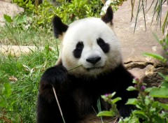 Animaux Le Panda
