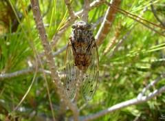 Animaux Cicada Orni