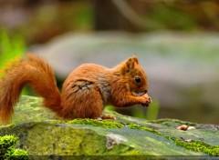 Animaux Ecureuil roux