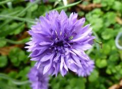 Nature Bleuet violet
