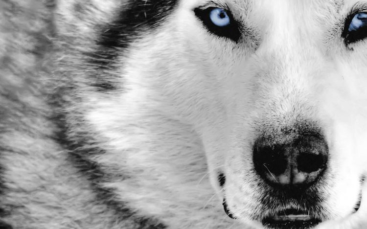 Fonds d'écran Animaux Loups Wallpaper N°312861