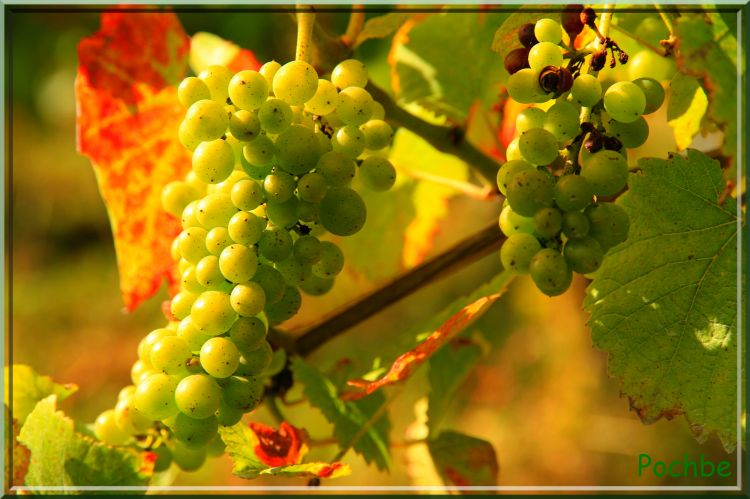 Fonds d'écran Nature Vignes - Vignobles Wallpaper N°313105