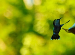 Animaux Oiseau mouche