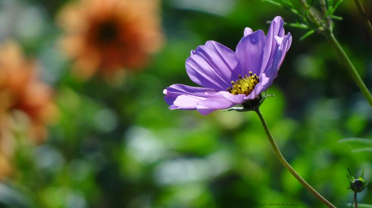 Wallpapers Nature Flowers Cosmos