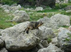 Animaux Marmotte au soleil des pyrénées