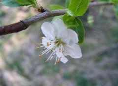 Nature Fleur de prunier