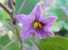 Nature Fleur d'aubergine