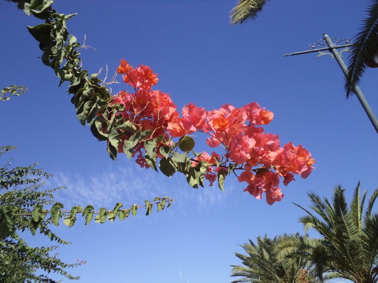 Fonds d'écran Nature Fleurs Bougainvillier a Marrakech en octobre