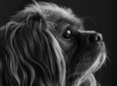 Animaux Cavalier King Charles