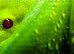 Animaux Serpent vert a oeil rouge
