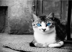 Animaux Chat aux yeux bleu