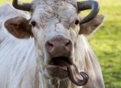Animaux la vache tordu