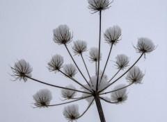 Nature Plante séche enneigée