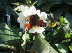 Nature Papillon sur fleur blanche