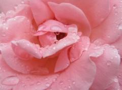 Nature Roses roses