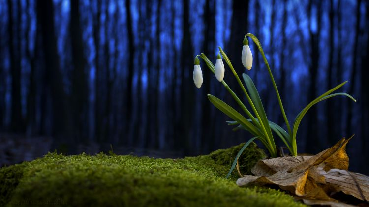 Wallpapers Nature Flowers perce-neiges