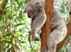 Animaux Koala