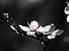 Nature Fleur Cerisier