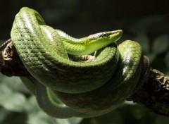 Animaux Serpent Vert