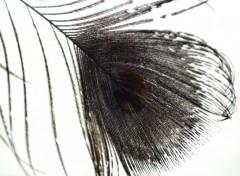 Animals plumes de paon