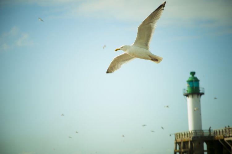 Fonds d'écran Animaux Oiseaux - Mouettes et Goélands Mouette en plein vol