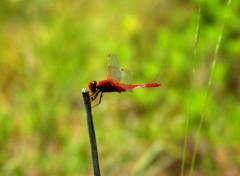 Animaux libellule rouge sanguin